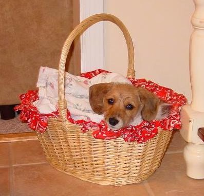 A small tan puppy with black eyes and a black nose peering out of a brown wicker basket laying on top of a red basket liner and a white throw blanket