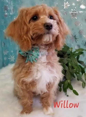 Front view of a wavy, soft looking red and white dog with long drop ears, a black nose and dark eyes sitting down in front of a teal-blue backdrop and next to a rubber plant