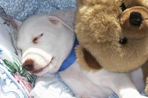 A short-haired white puppy with a brown nose wearing a blue collar sleeping with a big brown plush teddy bear on her side