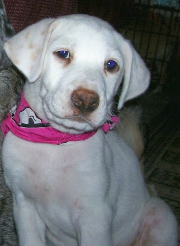 A short coated white dog with tan spots on her ears, dark droopy eyes and a brown nose wearing a hot pink bandanna sitting down inside of a house