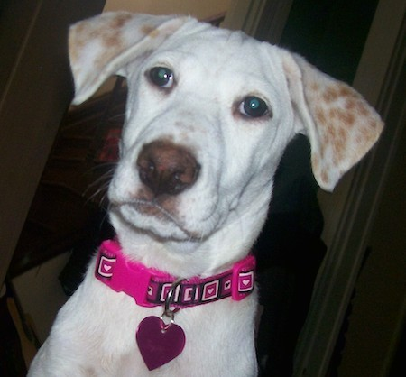 Close up head shot of a white, short-coated dog with tan spots on her fold over ears, wearing a hot pink collar with a heart-shaped ID tag hanging from it