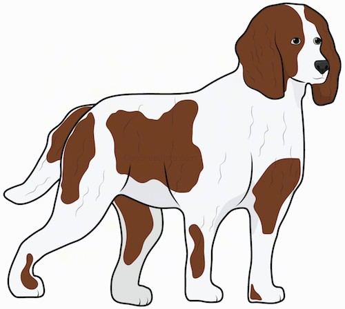 Side view drawing of a brown and white dog with long brown ears that hang down to the sides, a black nose, a long tail and a thick fur coat standing