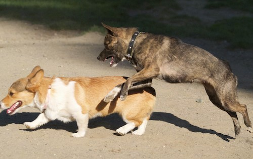 A brown brindle dog jumping into the air with her mouth open about to jump on a tan and white Corgi dog that is walking in the dirt