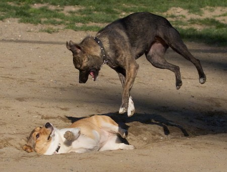 A brown brindle dog up in the air with her mouth open above a tan and white dog who is laying in the dirt on the ground about to get jumped on