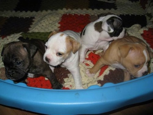 A litter of for puppies in a blue plastic pull sitting on a knitted quilt