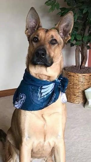 Front view of a large breed shepherd dog wearing a Philadelphia Eagles football bandanna sitting down on a tan run inside of a house with a house plant behind him