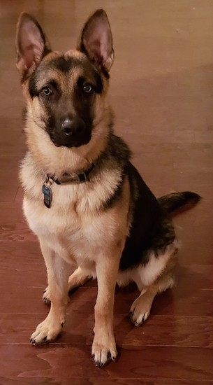 A large breed tan and black dog with large perk ears, a black nose and dark round eyes sitting down on a hardwood floor