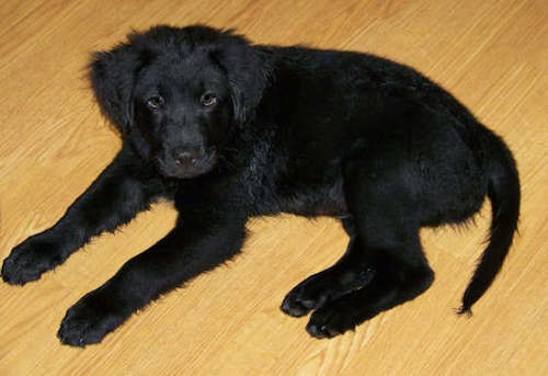 A solid black, thick coated puppy laying down on a hardwood floor