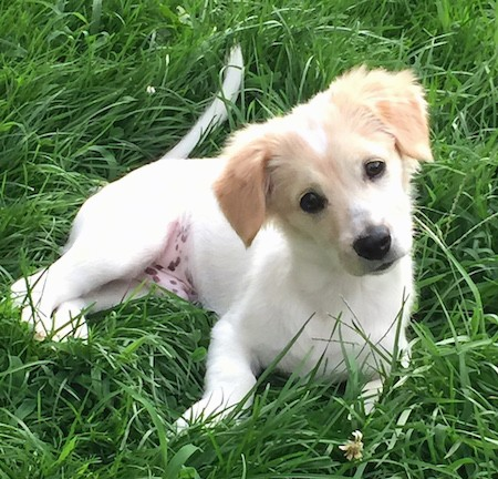 A soft little white dog with tan on his head, a black nose and black eyes laying down in green grass