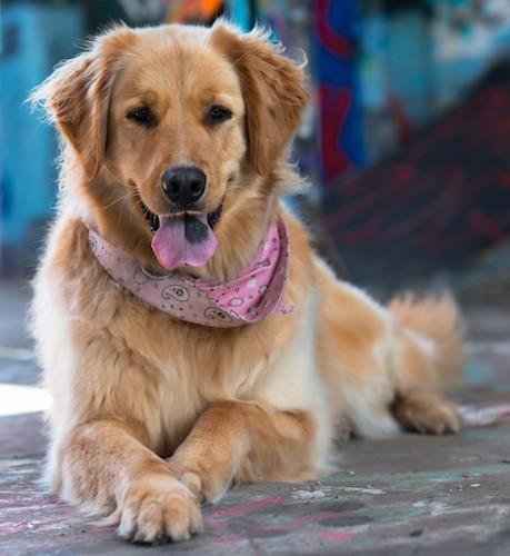 Front view of a golden colored, long, thick coated dog with soft ears that hang to the sides wearing a pink bandana with her pink tongue that has a black spot on it sticking out laying down outside looking happy