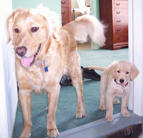 Golden Retriever Dog Breed Pictures 2