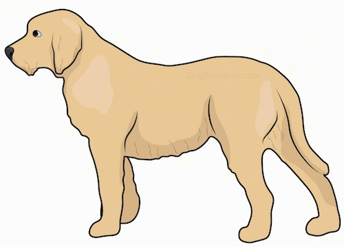 Side view drawing of a tan dog with a thick coat, long tail and longer hair on her chin making it look like she has a beard with ears that hang to the sides
