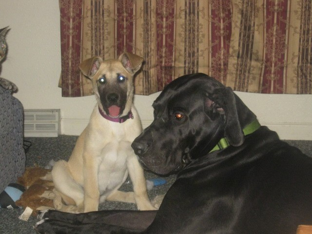 A large breed tan and black puppy sitting down next to an extra large black dog with a huge head and body and very long legs in a living room surrounded by dog toys