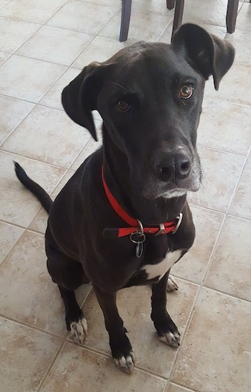 A large breed, thin, short-haired black dog wiht ears that fold to the sides with white tips on his paws and white on this chest sitting down on a tan tiled floor looking up with round brown eyes