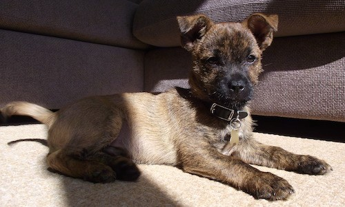 A small short haired, brown brindle puppy with small fold over v-shaped ears, brown eyes and a black nose laying down on a tan carpet next to a brown couch