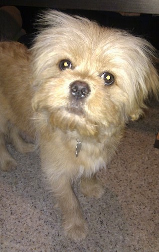 Front view of a soft but scruffy looking tan dog with wide round dark eyes and a black nose standing in a house