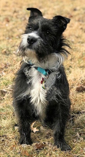 A long haired black and white scruffy looking terrier with small ears that fold over at the tips, a black nose, dark eyes with longer hair sticking out around his teal blue collar sitting down in brown grass outside