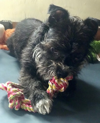 A black and white long coated scruffy dog laying down chewing on a pink, yellow. green and white rope toy