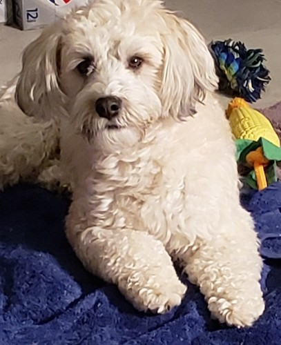 A white, thick, wavy coated dog with ears that hang to the sides, a black nose and dark eyes laying down next to her dog toys