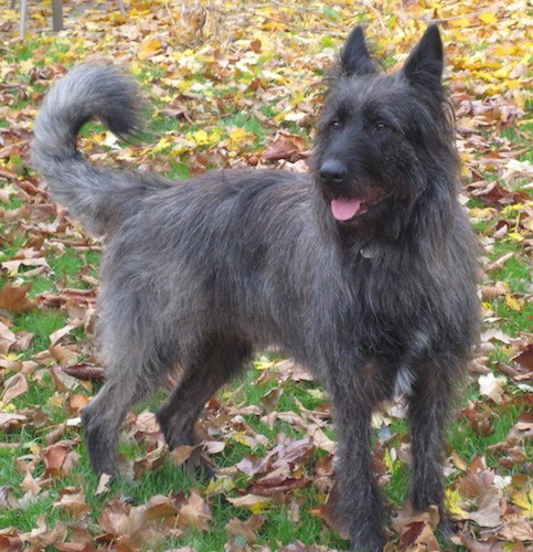 Front side view of a dark gray and black dog with large prick ears, a long feather tail, a long muzzle, black nose and dark eyes standing outside in grass with colorful leaves all around him
