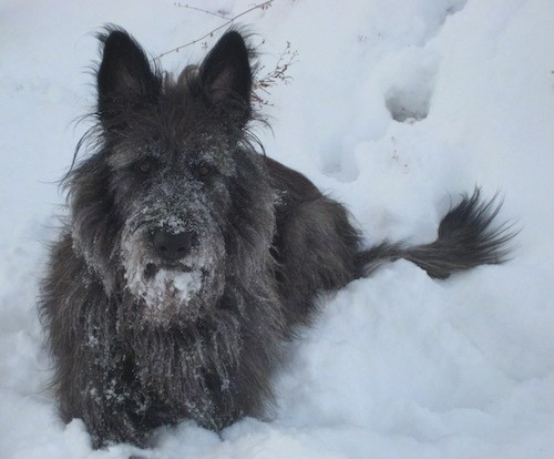 A thick, long coated dark gray dog with long hair, prick ears and a black nose with a long muzzle laying down outside in the snow