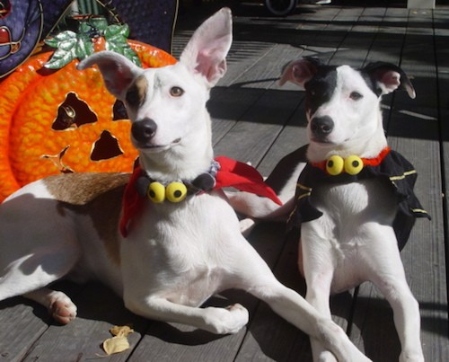 Two lean dogs, one tan and white and one black and white, with large ears, almond shaped eyes, black noses, long muzzles laying down on a wooden deck dressed in a Halloween costume with a jack-o'-lantern face behind them