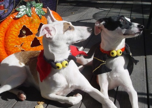 A white and tan dog laying next to a black and white dog, both dressed in a Halloween costume outside on a deck with a jack-o'-lantern behind them