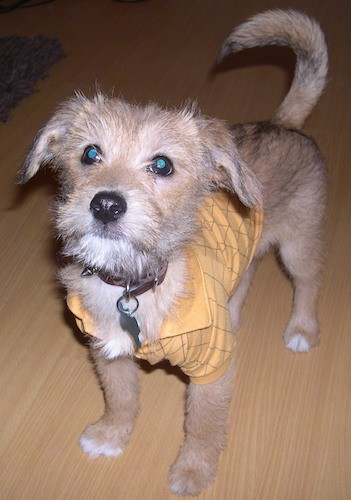 A medium-sized scruffy, but soft looking dog with longer hair on his head and smoother hair on his tan body wearing a yellow shirt standing on a hardwood floor looking up with a long tail, a black nose and dark eyes