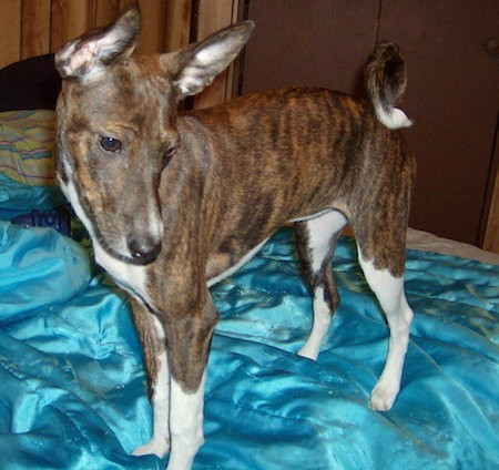 Front side view of a brown brindle dog with white undersides and paws with a ring tail that has a white tip, a black nose, long muzzle and very big ears standing on a person's bed that is covered in a teal blue silky blanket