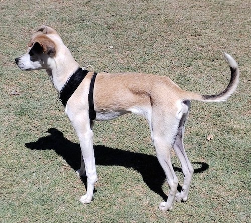 Side view of a small, lean tan and white little dog with ears that fold over at the tips, a long tail and long legs  wearing a black harness standing in the grass