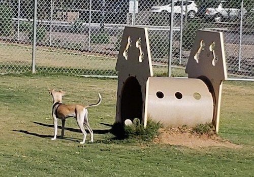 A small but relatively tall dog with a long tail and long legs standing next to dog park equipment in the grass facing a chainlink fence
