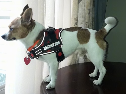 A small, long-bodied, short-legged white and tan dog wearing a red and black Service Dog vest standing on a wooden table looking out a window inside of a house