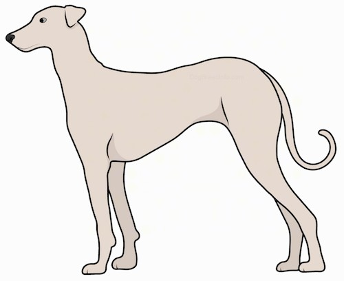 A tan, tall, lean dog with a short coat, a very long tail with a curl at the end, small v-shaped ears, dark eyes, a long muzzle and a black nose standing