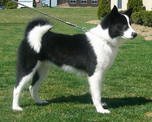 A black and white Karelian Bear Dog standing outside in grass in front of a neighborhood house