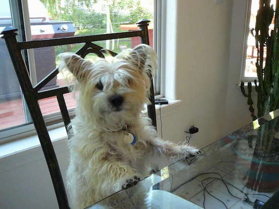 A small, scruffy, long haired tan terrier dog with his front paws up on the kitchen table while sitting in a chair in a house