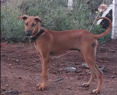 Side view of a reddish colored large breed puppy with rose ears that stand out to the sides, a black nose with a black tipped muzzle and a long tail wearing a red collar standing outside in red dirt