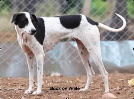 A large breed tall, thin white dog with black spots and black ticking with a long thin tail with a ring tip end with a long muzzle standing outside in front of a chain link fence