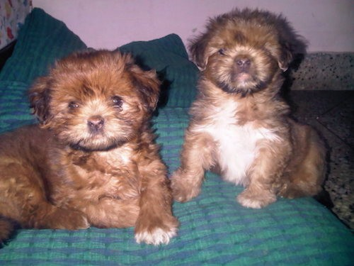 Two little fluffy tan puppies, one with a white chest, sitting and laying on person's blue and green bed.