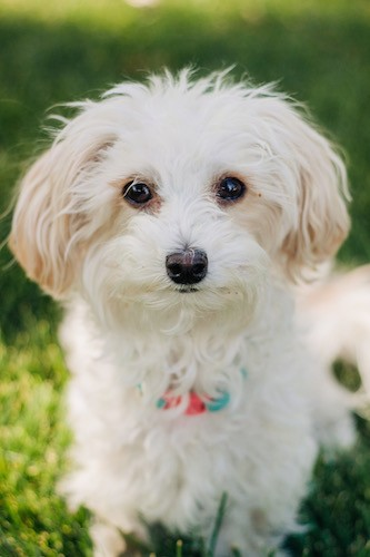 Malti Poo Dog Breed Information And Pictures