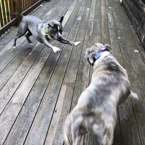 A thick bodied gray and white dog leaping into the air in front of a gray brindle pit bull dog playing on a wooden deck outside