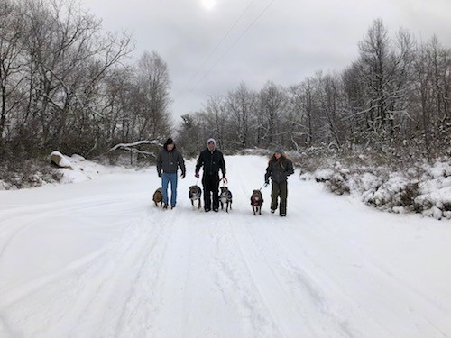 Four dogs, a red nose and three blue nose pit bulls being walked by three people down a snowy road