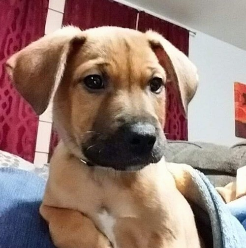Front view head shot of a tan puppy with a black muzzle, ears that hang to the sides sitting down on a couch next to a blue blanket