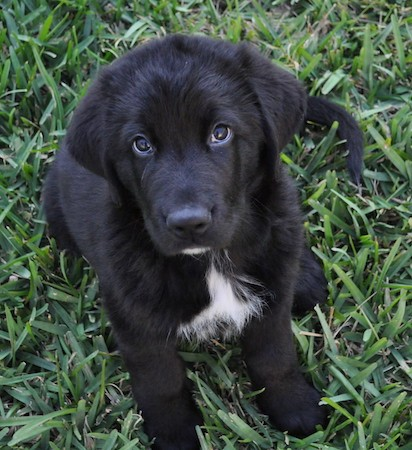 A little black, thick coated puppy with white on her chest, dark eyes, ears that hang to the sides, a big head, thick body and big black nose sitting down in grass looking up