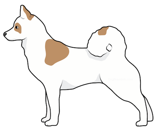 Side view of a white dog with brown patches, a thiick tail that curls up over its back, perk ears, a black nose and dark eyes standing up