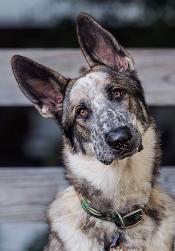 Close up head shot of a white, brown, gray, black and tan shepherd dog with large perk ears and a big black nose.