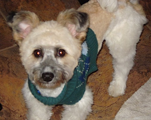 A tan and white shaved dog with small ears that stand up and fold over at the tips, round dark eyes and a black nose wearing a green sweater standing inside of a house on a brown tiled floor