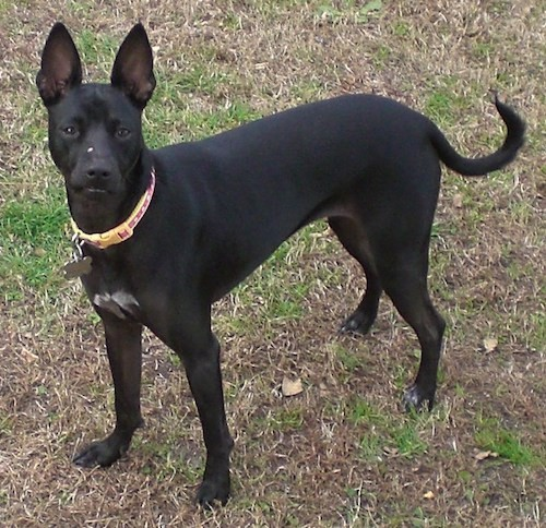 A black dog with large prick ears, a black nose and dark eyes with a little white on her chest and tips of her paws standing in grass