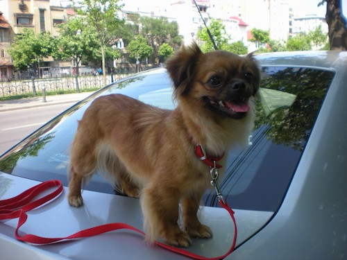 A little tan dog with a black muzzle standing on the back of a car while connected to a red leash
