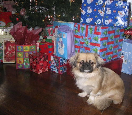 A little fluffy, long haired tan dog with long flowing ears that hang to the sides and have black on them sitting down next to a Christmas tree and wrapped presents