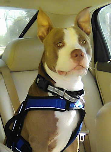 A large breed, muscular brown and white dog with a big head and large ears that stand up to a point sitting inside of a car wearing a seat belt